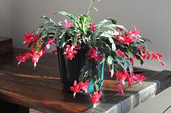 Christmas Cactus by Christine Schmidt