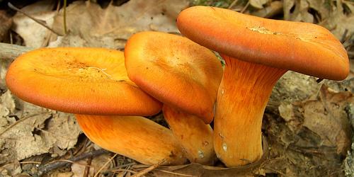 Jack o'lantern mushroom photo by Jason Hollinger